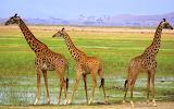 Giraffes of Amboseli