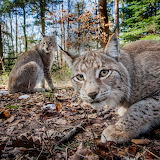 ☺ Lynx in the woods...