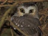 Birds - Saw-whet Owl