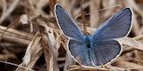 Endangered Species Karner Blue Butterfly