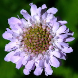 African scabiosa