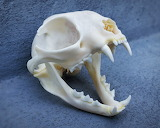 Domestic-Cat-Skull