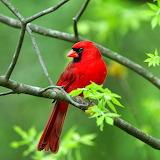 *Red Cardinal...