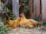 chickens in the farm