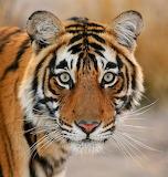 Bengal Eyes...