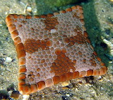 "Science tumblr currentsinbiology ""Magnificent Biscuit Starfish"""
