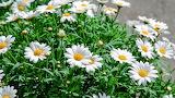 ^ Spring daisies