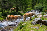 Haflinger horses in south tyrol