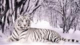 #White Tiger In Winter