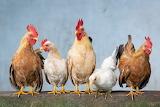 Chickens-animals