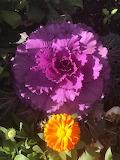 Flowers - Decorative Cabbage