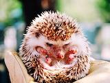 #A Handful of Hedgehog