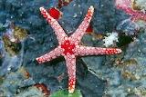Rozgwiazda czerwona Fromia nodosa
