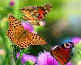 Butterfly-flowers-images