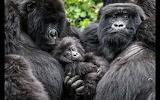 Gorillas family