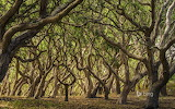 Oak trees Palo Corona Regional Park. Carmel Valley. California