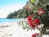 Pohutukawa flowers - New Zealand
