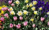 Narcisi e tulipani