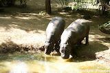 hippopotames / Hippos
