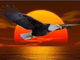 Bald eagle sunset