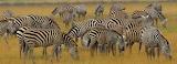 Zebras ~ Amboseli
