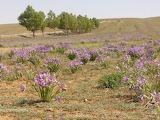 Mongolian iris