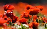 amazing poppies