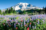 Wild flowers under Mount Rainier
