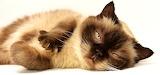 Pet Mieze Cat