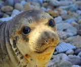 Elephant Seal ~ Point Reyes