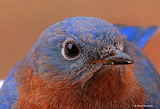 Bluebird up close and personal