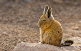 A Southern Viscacha in the Andes Mountains