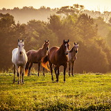 * Horses in the Field...