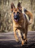 Alert Loyal Happy Fit - German Shepherd