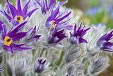 Pulsatilla Closeup Violet Flower-bud 541793 1280x853