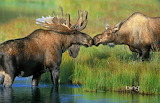 Couple of Bull Moose