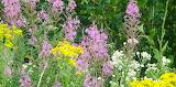 Wildflower Trail Mix Fireweed Yarrow Yellow-Wort