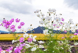 Cosmos Flowers Korea - Photo from Piqsels id-fssga