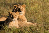 Cats - Lion and Lioness