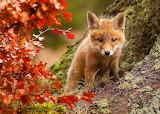 Wild Fox in Autumn