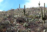 Prickly Pear Hillside