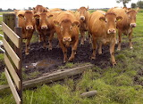 Brown Cows in the Netherlands
