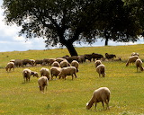 sheeps in Extremadura, Spain