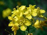 Wildflower Mustard
