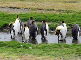 penguin, South Georgia