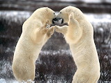 polar bears-Churchill,Manitoba,Canada