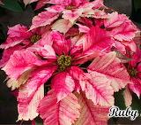 Poinsettia 'Ruby Frost'