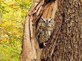 Camouflaged Owl In Cutout of a Tree Lexington Ohio USA