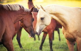 Beautiful Horses @ 1zoom.me...