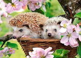 Two cute hedgehogs